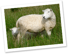 whiteface-dartmoor-sheep