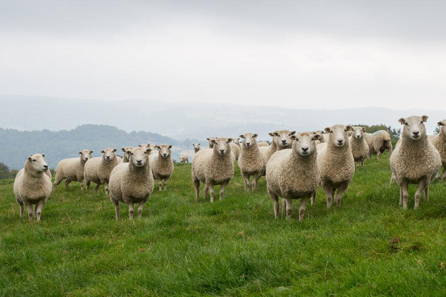 weaving whiteface dartmoor wool, twool, calders