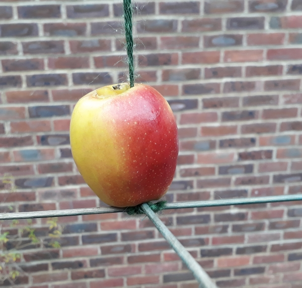 twool apple bird feeder for your winter garden