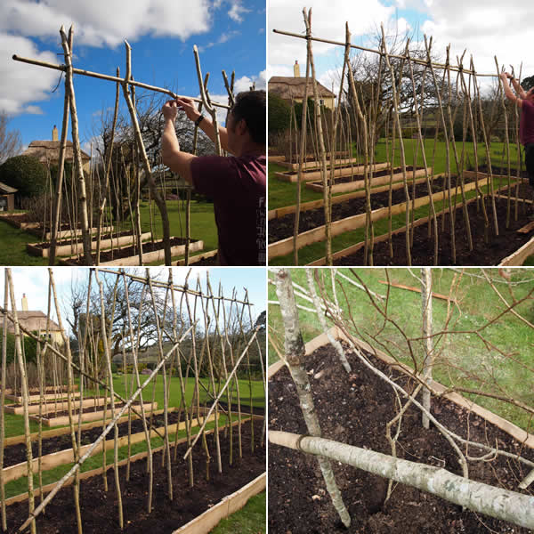 Tie up and add pea sticks to bean pole rows